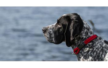 Comment mesurer le cou de votre chien